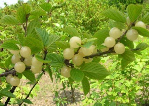 войлочная вишня сорта