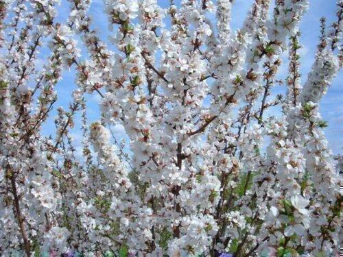 войлочная вишня сохнут ветки после цветения