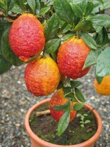 Красный лимон