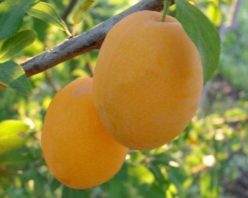 Желтая крупноплодная