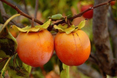 Сорт Россиянка - плод