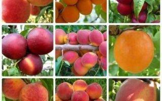 Разновидности персика