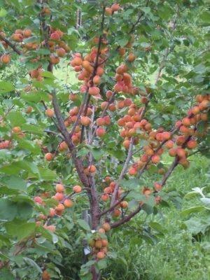 абрикос амур