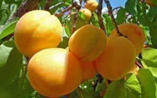 Разведение абрикоса Чемальский