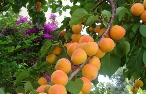 абрикос чемальский
