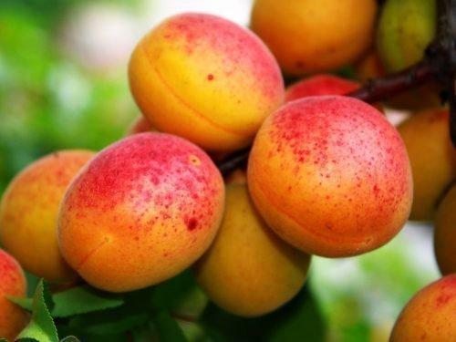 абрикос восторг