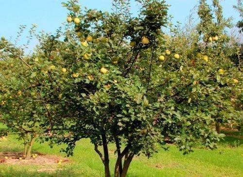 айва выращивание и уход