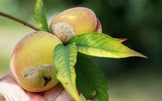 Признаки болезней персиков