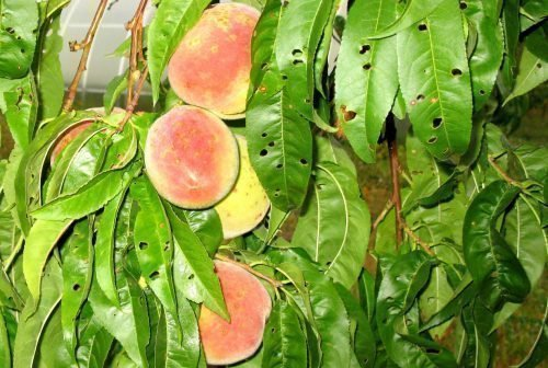 Дырчатая пятнистость персик