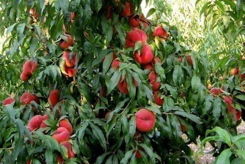 инжирный персик