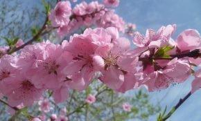 Особенности цветения персика