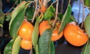 Правила выращивания хурмы из косточки в домашних условиях