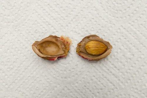 как вырастить из косточки персик