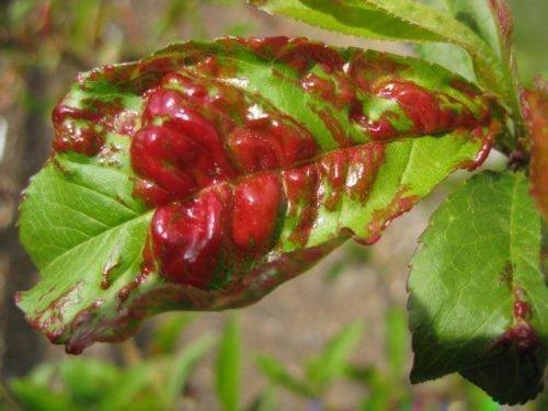 курчавость листьев персика лечение
