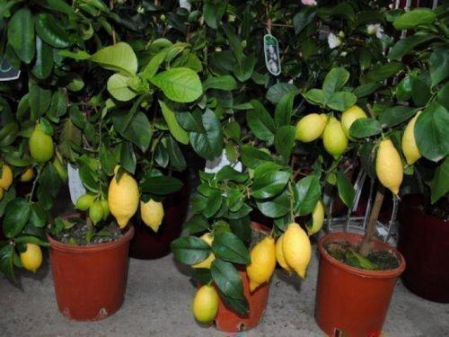 лимонелла в домашних условиях