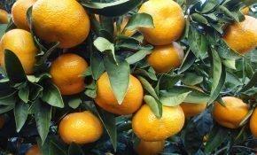 Особенности мандарина Уншиу