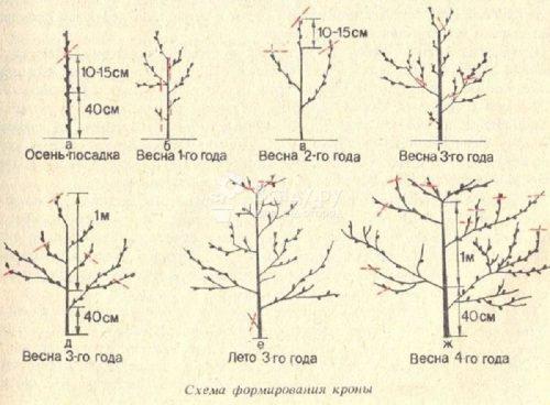 Схема обрезки по годам