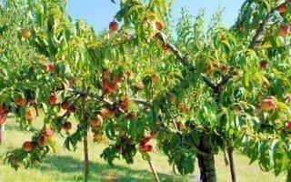 Правила обрезки персика осенью