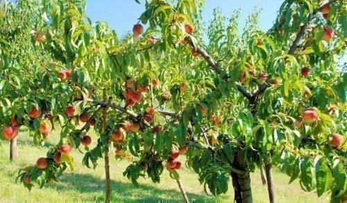 обрезка осенью персика
