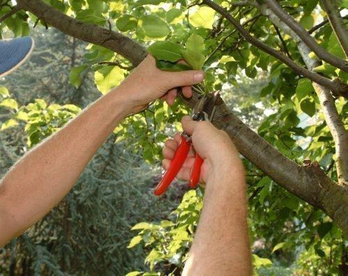 обрезка персика летом