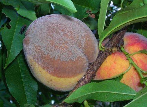 почему гниют персики на дереве