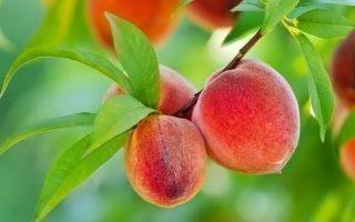 Правила полива персика летом