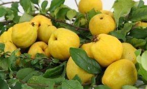 Особенности размножения японской айвы семенами
