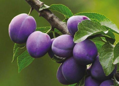 слива фиолетовая