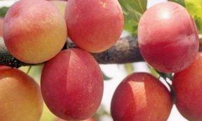 Особенности персиковой сливы Мичурина