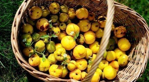 японская айва когда собирать плоды