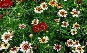 Выращивание сортов однолетних хризантем