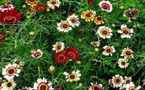 Однолетняя хризантема
