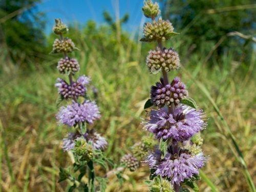 Цветы используют в фармакологии