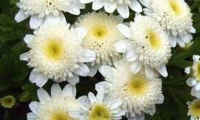 Разновидности хризантемы Девичья