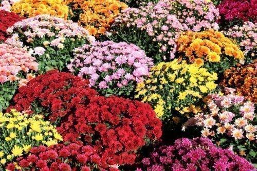 Цветовая гамма хризантем