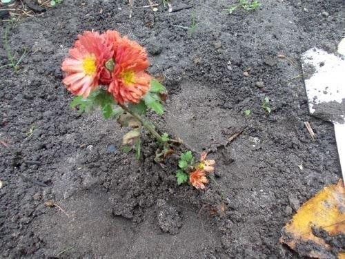 Пересадка цветущего растения