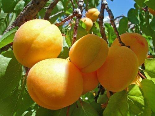 Плоды крупным планом