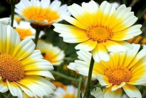 Увенченная (Венечная) хризантема