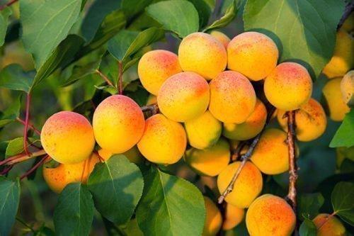 Плоды Хабаровского