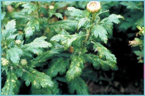 Нематодоз хризантемы