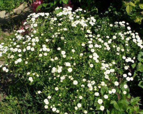 Куст девичьей хризантемы