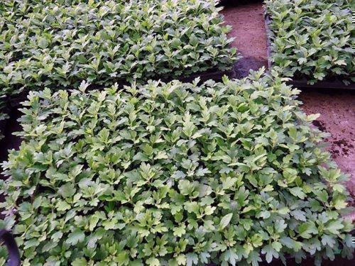 Ростки хризантемы