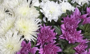 Сортовые особенности и выращивание хризантем