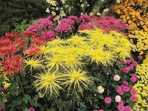 Осенние хризантемы в саду