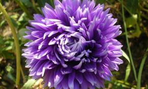 Сорта фиолетовых хризантем