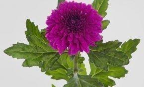 Разновидности и выращивание хризантемы Барка
