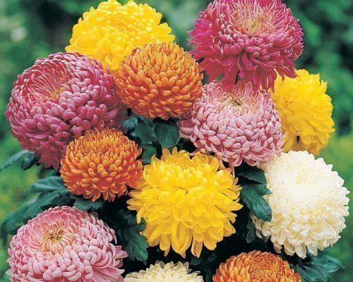 Крупноцветные хризантемы