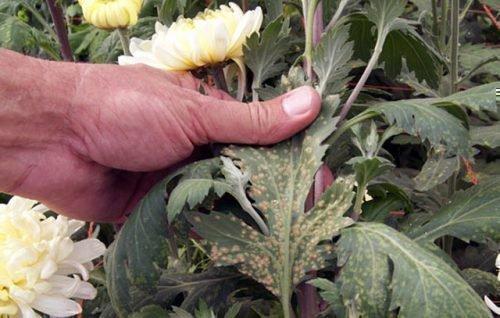 Нематоды на хризантеме