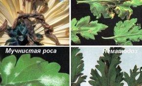 Почему засыхают листья у хризантемы