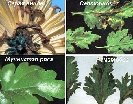 Болезни хризантем